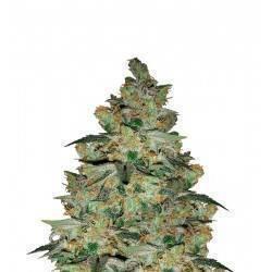 KALICHAKRA · cannabis seeds...