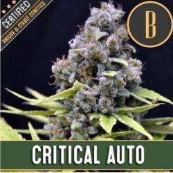 Critical Auto · Blimburn Seeds